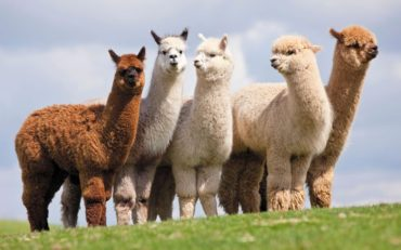 Alpaca Adoption Aramis